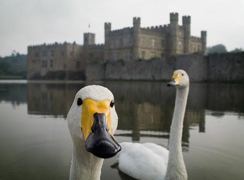 Inquisitive swans at Leeds Castle