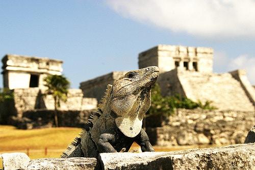 An iguana at Tulum