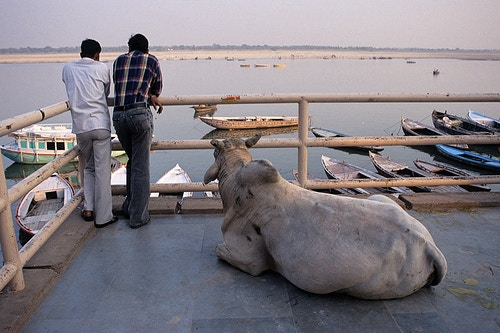 A cow takes in the view of the Ganges river in the holy city of Varanasi