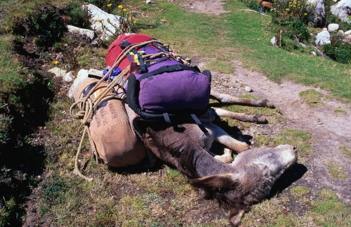 sleeping donkey with luggage