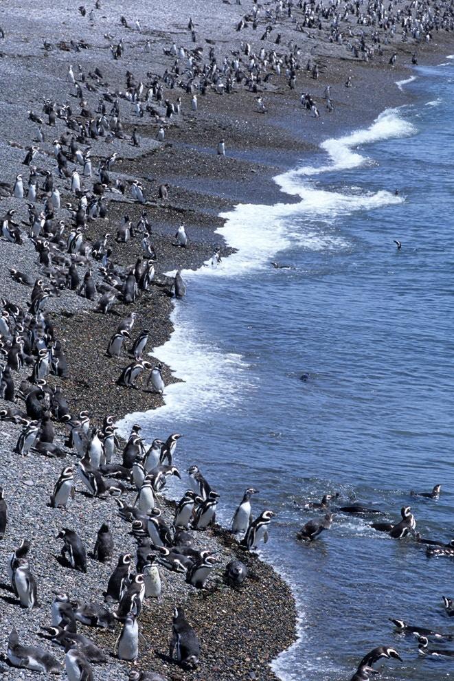 Penguins in Patagonia