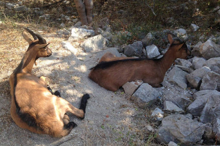 Albanian goats. Image by Lonely Planet