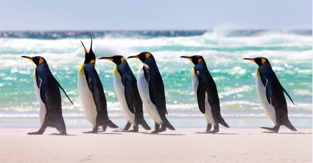 King Penguins walking on Volunteer Beach.