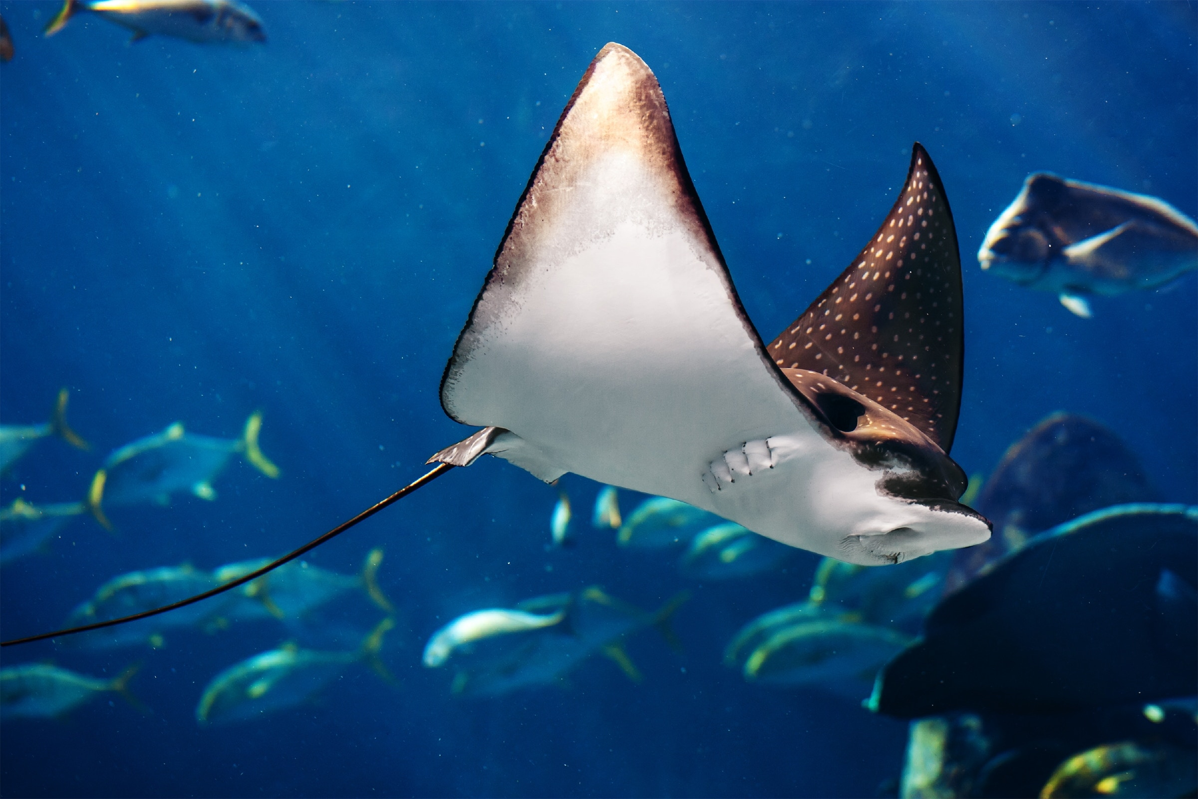Manta ray floating underwater among other fish.