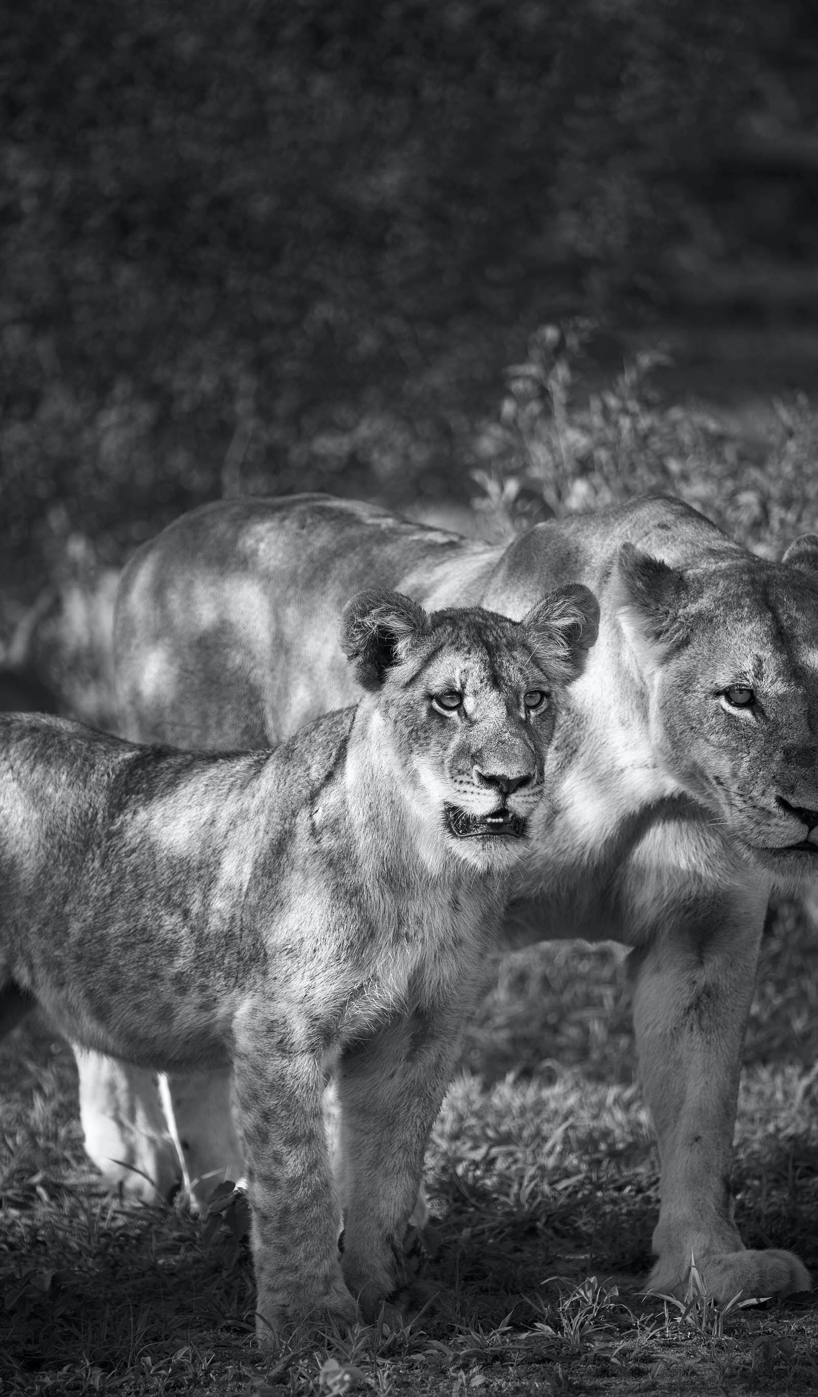 Young lions prowl in Sabi Sands, South Africa's first nature reserve © Jonathan Gregson / Lonely Planet