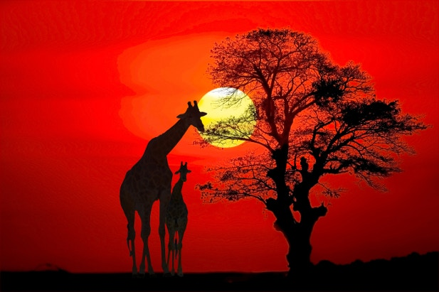 Silhouette of giraffes at sunset