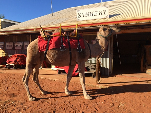A camel saddled up and waiting for it's rider in the Australian desert