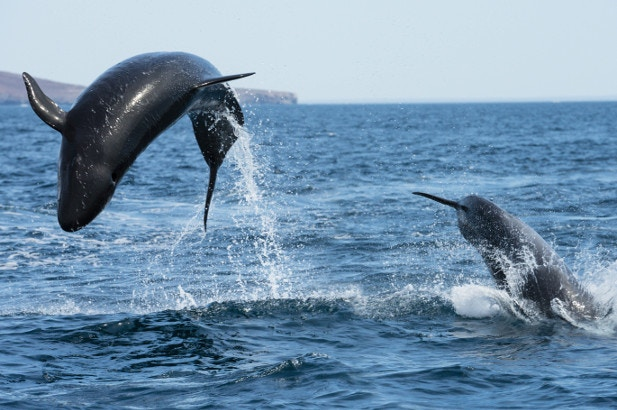 Two false killer whales leaping from the water in La Paz, Mexico