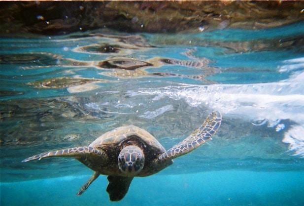 A sea turtle swimming off the coast of Hawaii Island