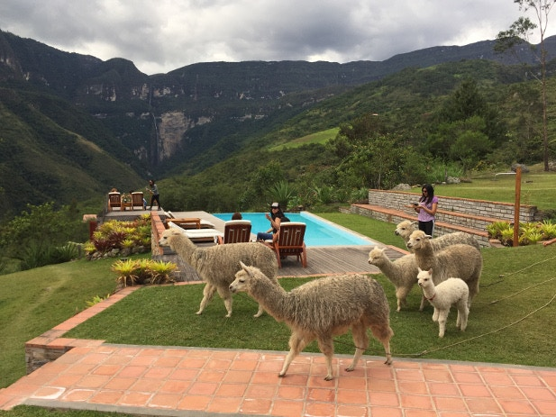 A herd of llamas wander the scenic grounds of Gocta Lodge