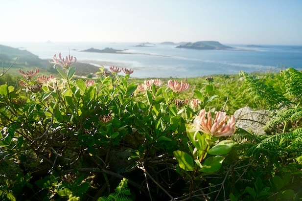 Honeysuckle in a hedgerow with a view of islands in the background, St Martin's, Isles of Scilly, England, UK