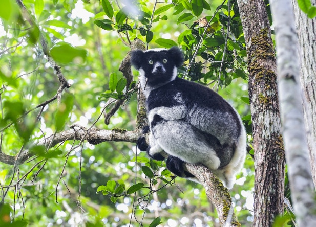 An Indri lemur poses in the forest canopy