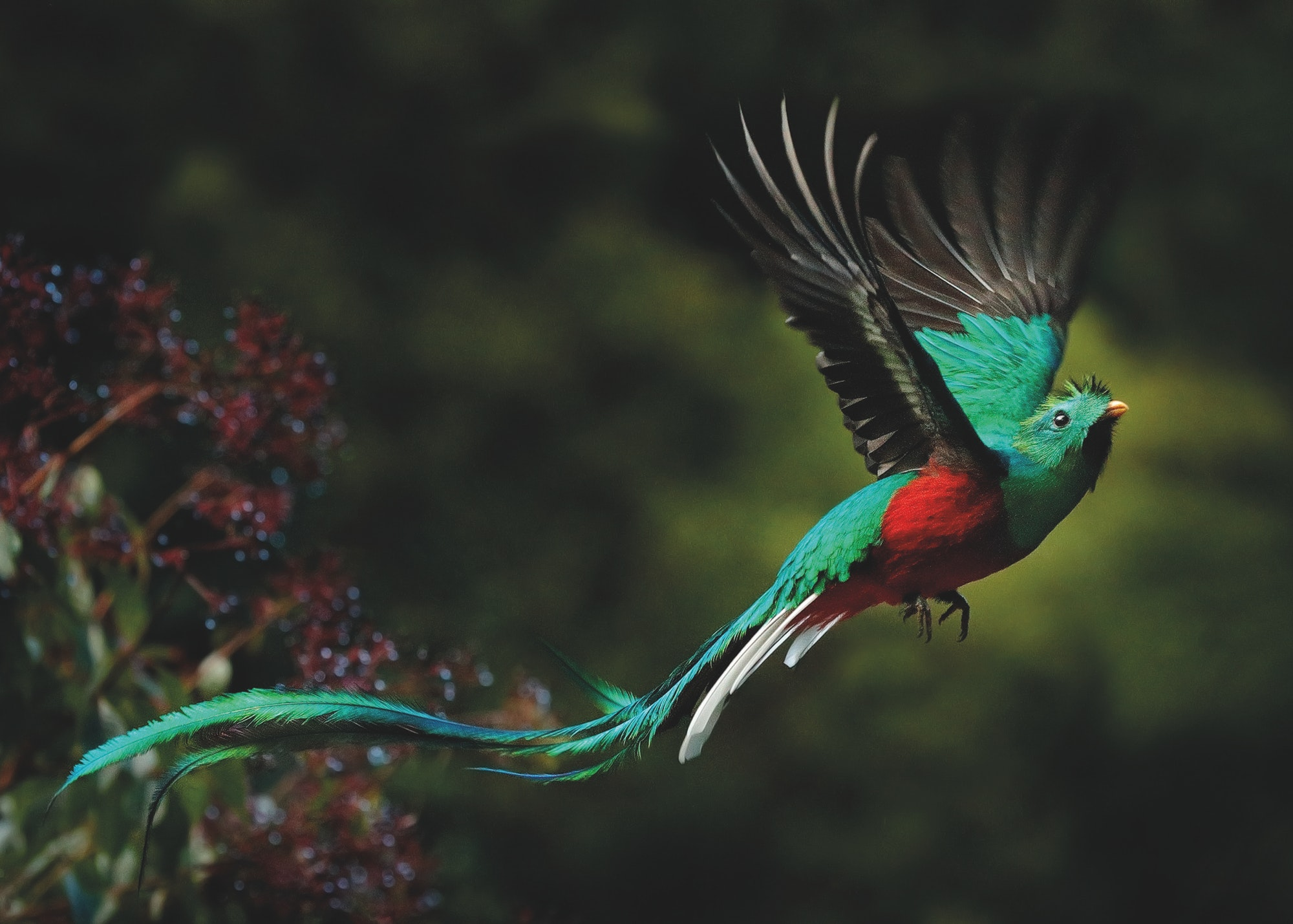 A resplendent quetzal in flight