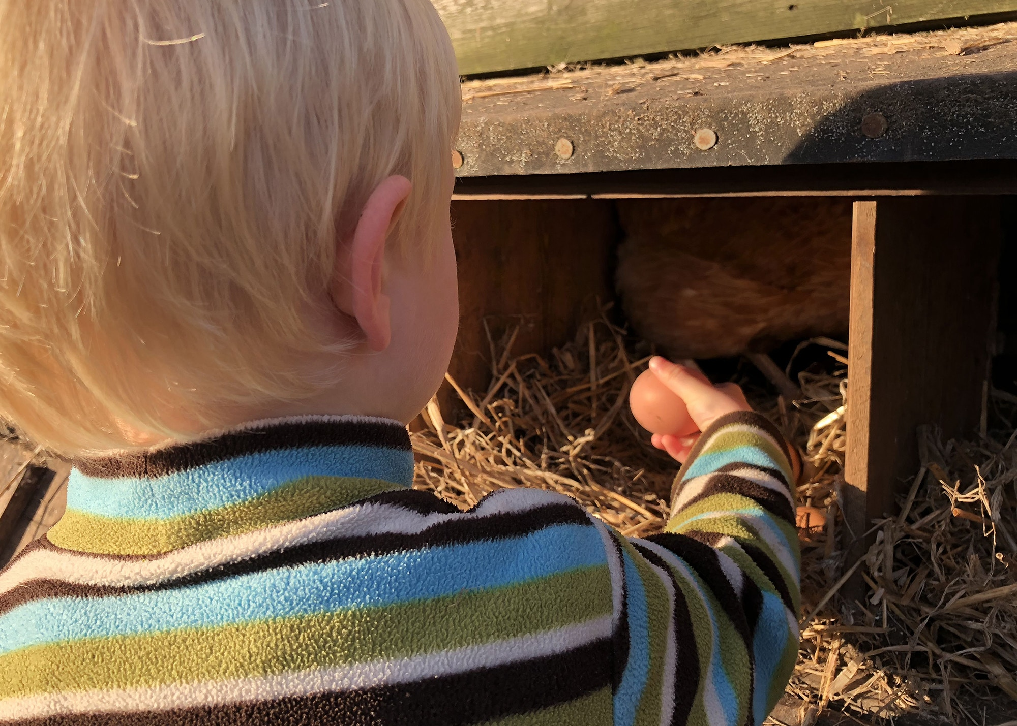 Boy taking an egg out of a chicken coop.