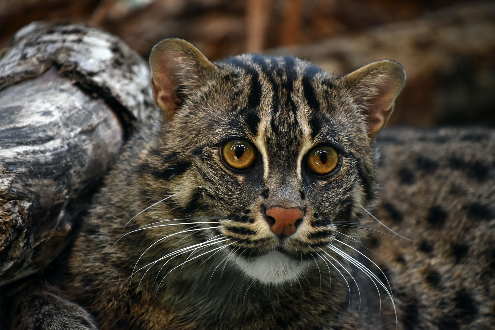 A portrait shot of a fishing cat, a large feline that lives in the wetlands around Colombo, Sri Lanka