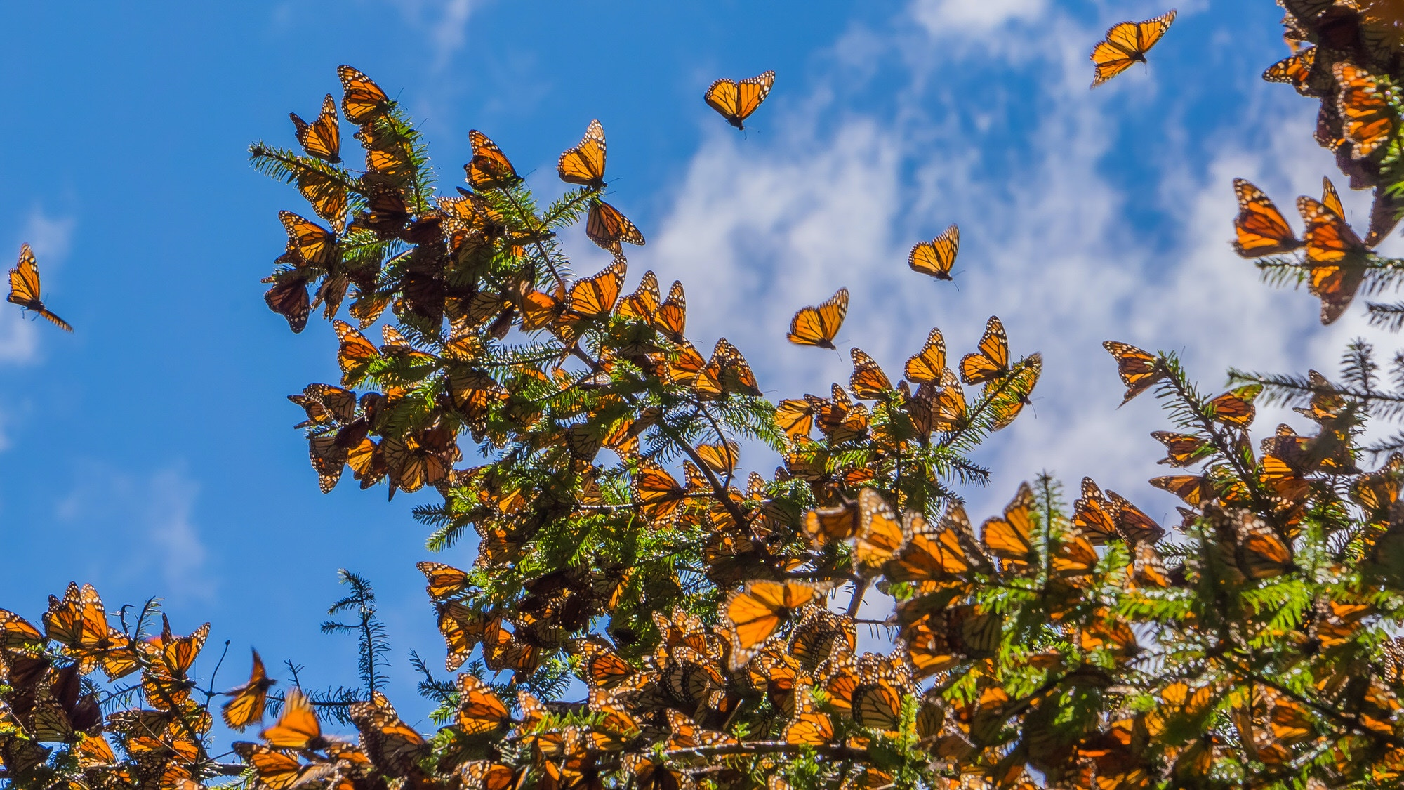 Many Monarch butterflies on a tree branch, with blue sky beyond