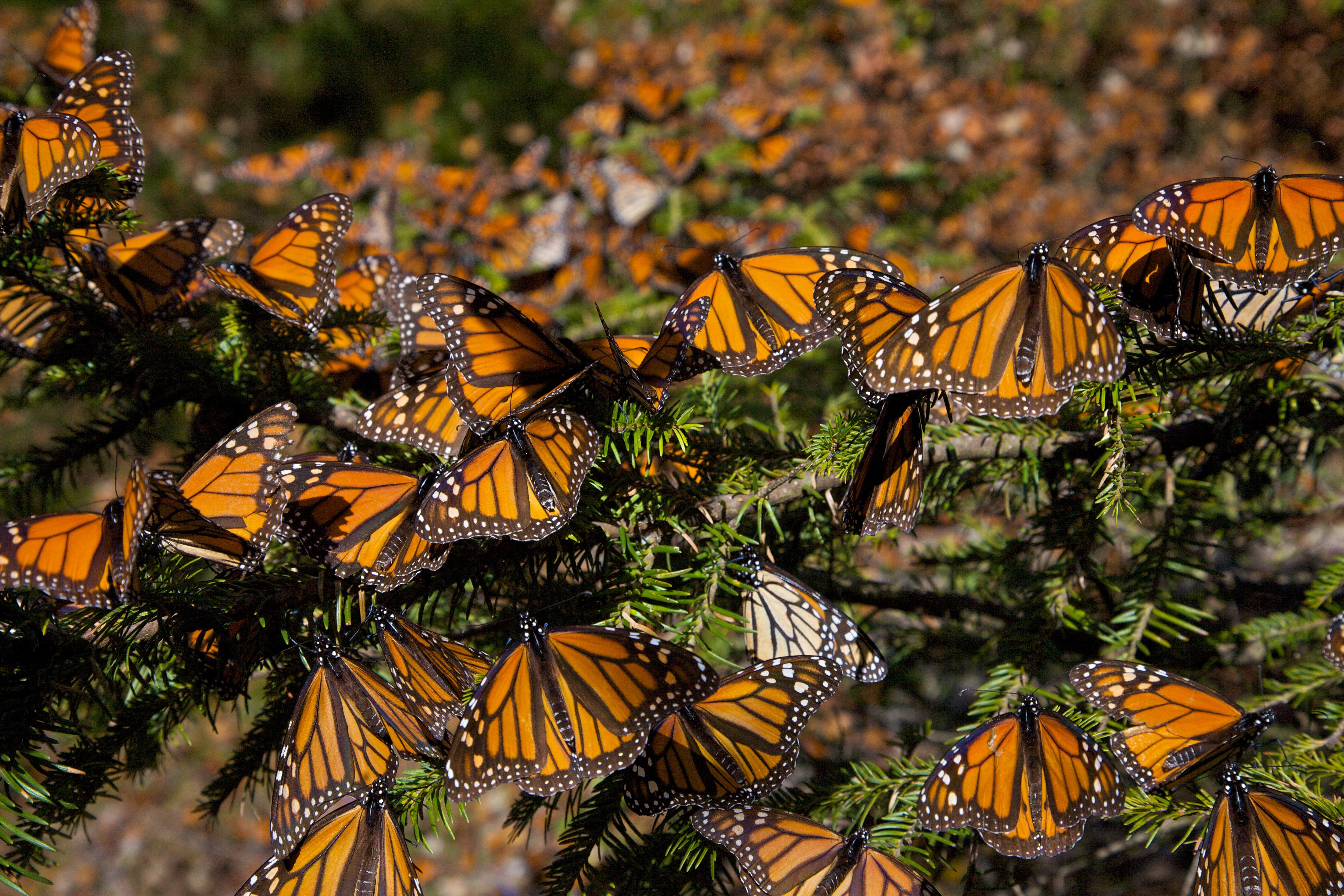 Reserva de la Biósfera Santuario Mariposa Monarca | Inland Michoacán, Mexico Inland Michoacán